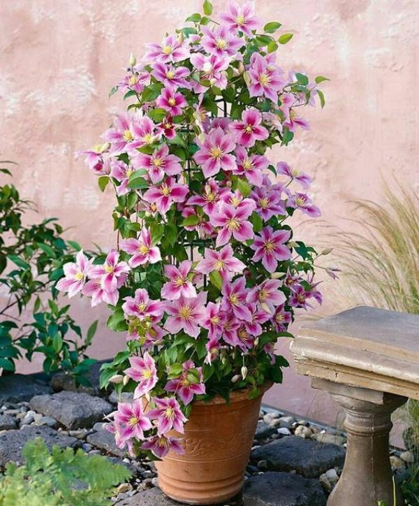 Những mẹo nhỏ giúp cây hoa ông lão trở thành điểm nhấn duyên dáng đặc biệt cho khu vườn - Ảnh 11.