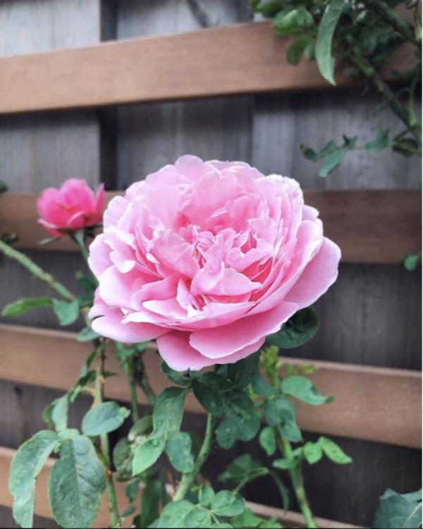 Góc vườn đẹp nên thơ và bí quyết trồng hồng nở rực rỡ của người đẹp Tăng Thanh Hà - Ảnh 4.