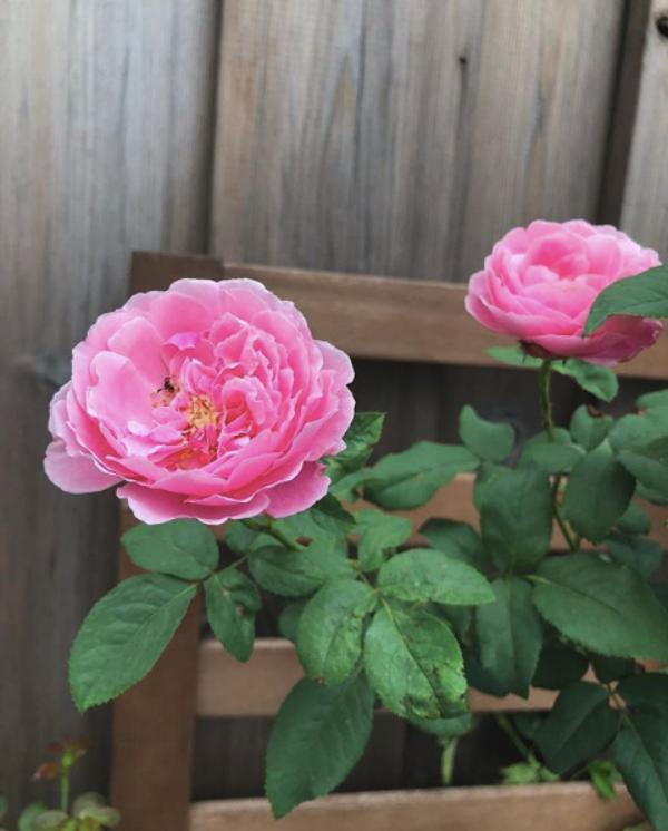 Góc vườn đẹp nên thơ và bí quyết trồng hồng nở rực rỡ của người đẹp Tăng Thanh Hà - Ảnh 6.