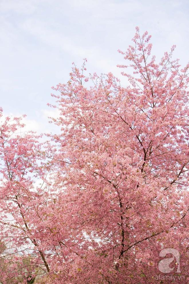 Đà Lạt đẹp như bản tình ca trong mùa mai anh đào nở rộ - Ảnh 1.