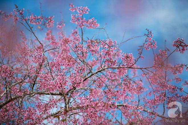 Đà Lạt đẹp như bản tình ca trong mùa mai anh đào nở rộ - Ảnh 6.