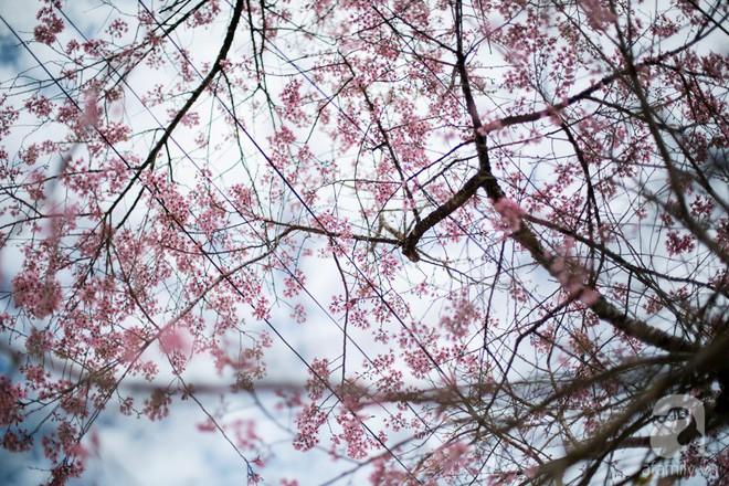Đà Lạt đẹp như bản tình ca trong mùa mai anh đào nở rộ - Ảnh 12.