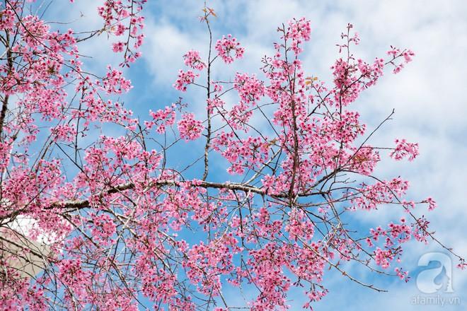 Đà Lạt đẹp như bản tình ca trong mùa mai anh đào nở rộ - Ảnh 14.