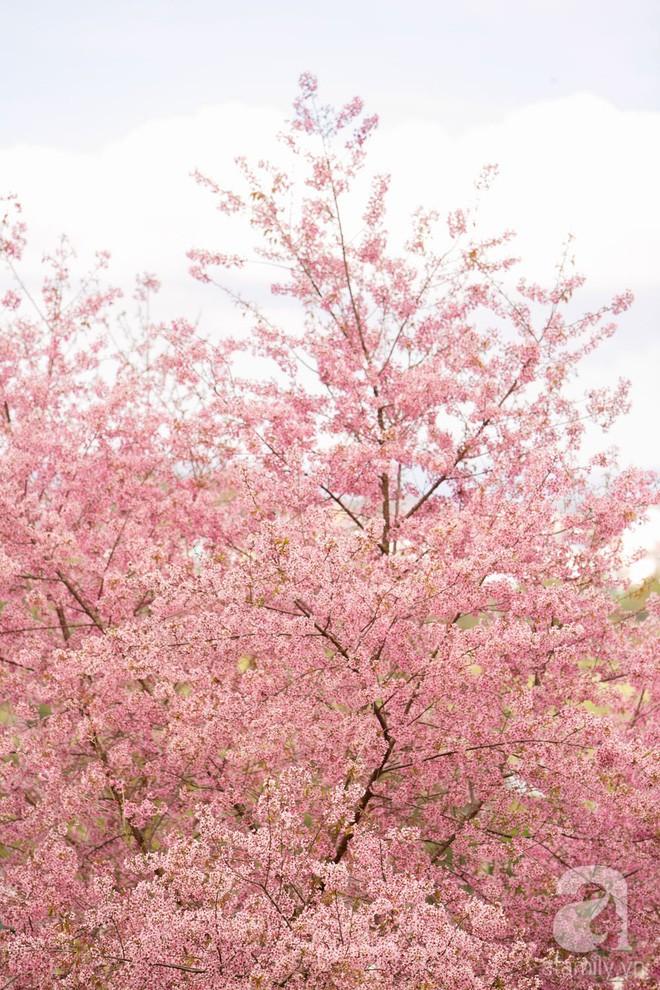 Đà Lạt đẹp như bản tình ca trong mùa mai anh đào nở rộ - Ảnh 19.
