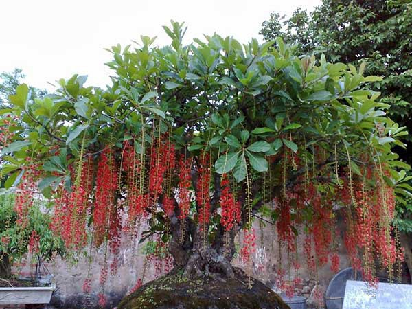 photo 2 1516060601521 Nên chọn trồng cây gì trước cửa để hút tài lộc năm Mậu Tuất 2018