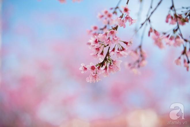 Đà Lạt đẹp như bản tình ca trong mùa mai anh đào nở rộ - Ảnh 9.