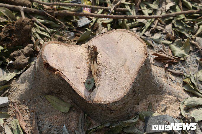 Truy tìm thủ phạm chặt trộm hàng cây sấu trên vỉa hè Hà Nội - Ảnh 2.
