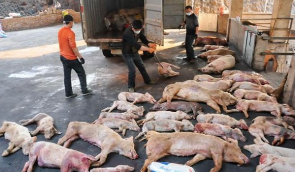Không trực tiếp lây nhiễm, dịch tả lợn châu Phi vẫn gián tiếp gây bệnh theo cách này - Ảnh 2.