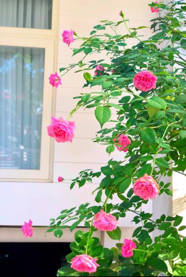 Vườn hồng với đủ loại hồng cổ, hồng ngoại khoe sắc trong biệt thự của MC Quyền Linh - Ảnh 14.