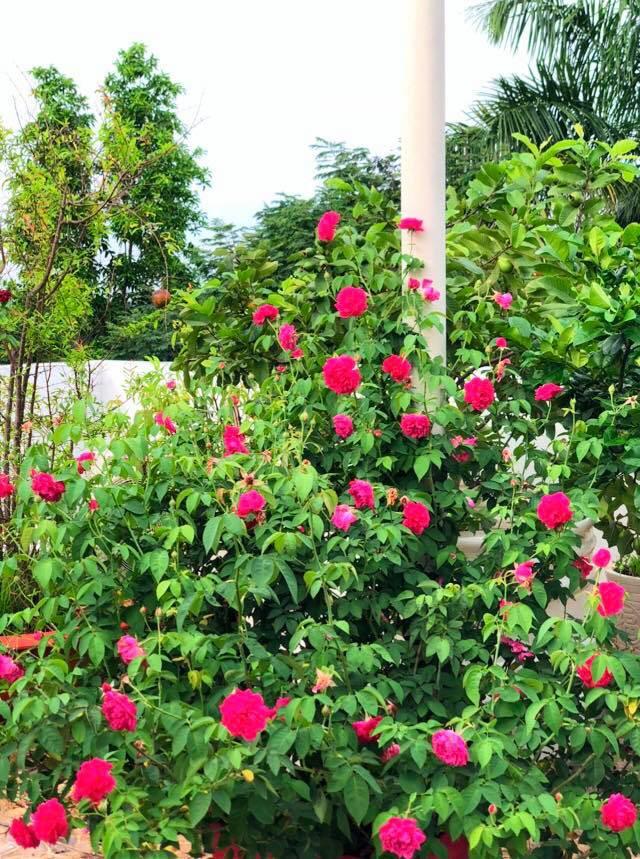 Vườn hồng với đủ loại hồng cổ, hồng ngoại khoe sắc trong biệt thự của MC Quyền Linh - Ảnh 1.