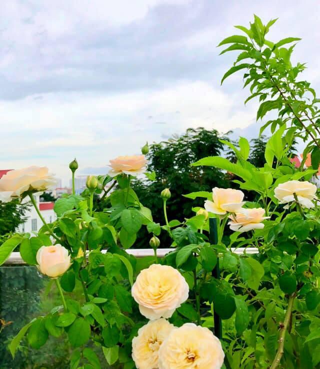 Vườn hồng với đủ loại hồng cổ, hồng ngoại khoe sắc trong biệt thự của MC Quyền Linh - Ảnh 10.