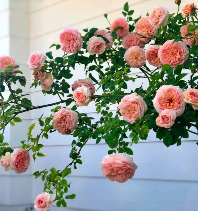 Vườn hồng với đủ loại hồng cổ, hồng ngoại khoe sắc trong biệt thự của MC Quyền Linh - Ảnh 2.