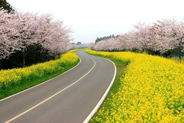 Điểm danh những lễ hội hoa anh đào nổi tiếng xứ Hàn - Ảnh 1.