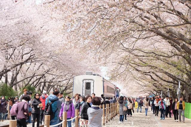 Điểm danh những lễ hội hoa anh đào nổi tiếng xứ Hàn - Ảnh 2.