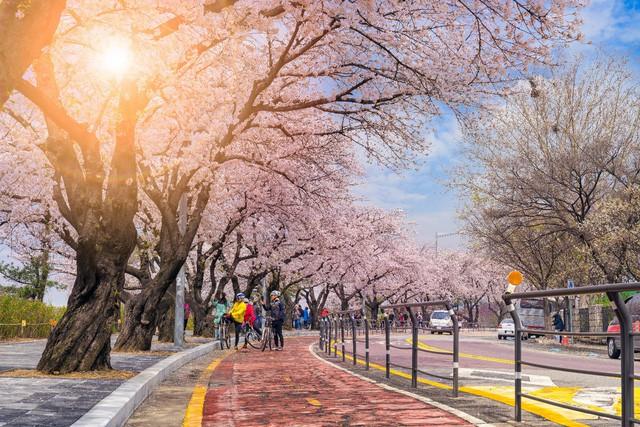 Điểm danh những lễ hội hoa anh đào nổi tiếng xứ Hàn - Ảnh 3.