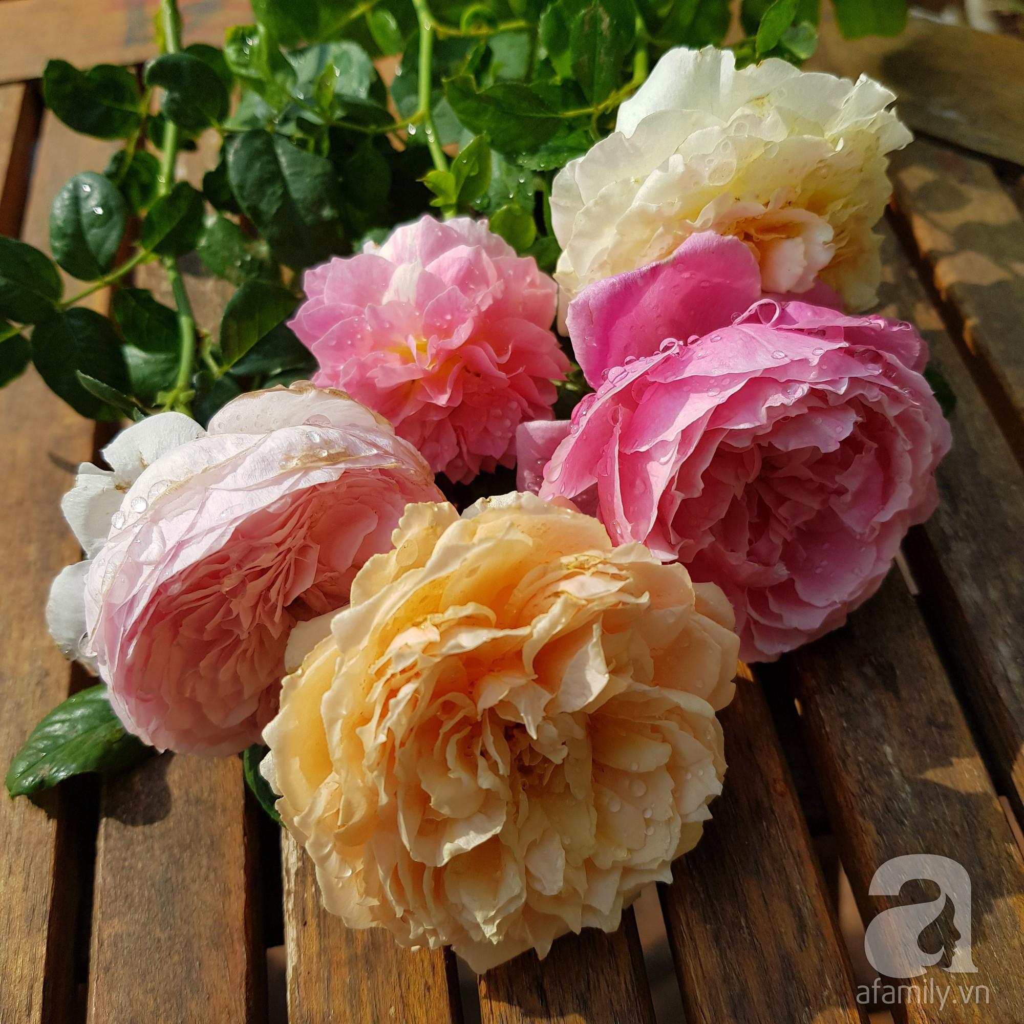 Vườn hồng trên sân thượng rực rỡ sắc màu của chàng trai 8x siêu đảm ở Sài Gòn - Ảnh 16.