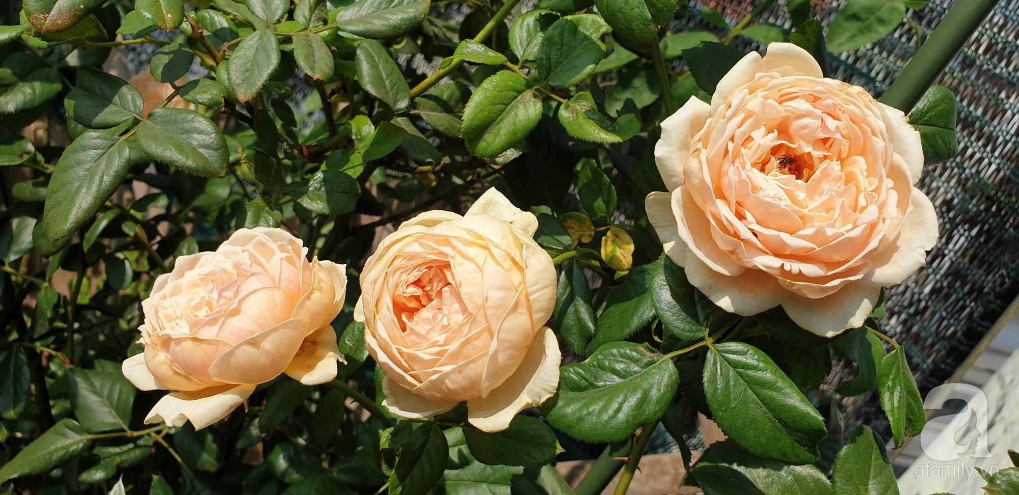 Vườn hồng trên sân thượng rực rỡ sắc màu của chàng trai 8x siêu đảm ở Sài Gòn - Ảnh 10.