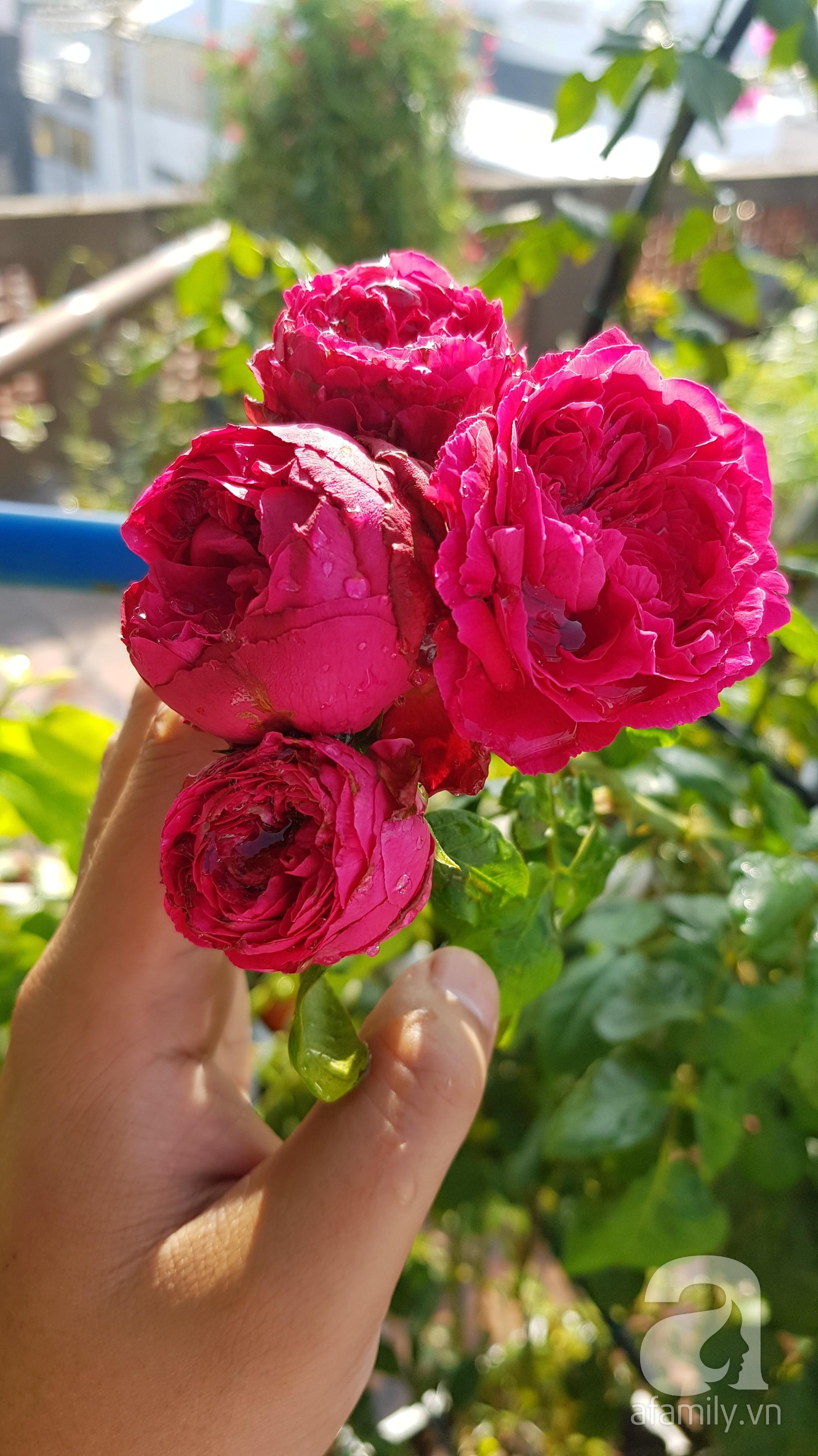 Vườn hồng trên sân thượng rực rỡ sắc màu của chàng trai 8x siêu đảm ở Sài Gòn - Ảnh 8.