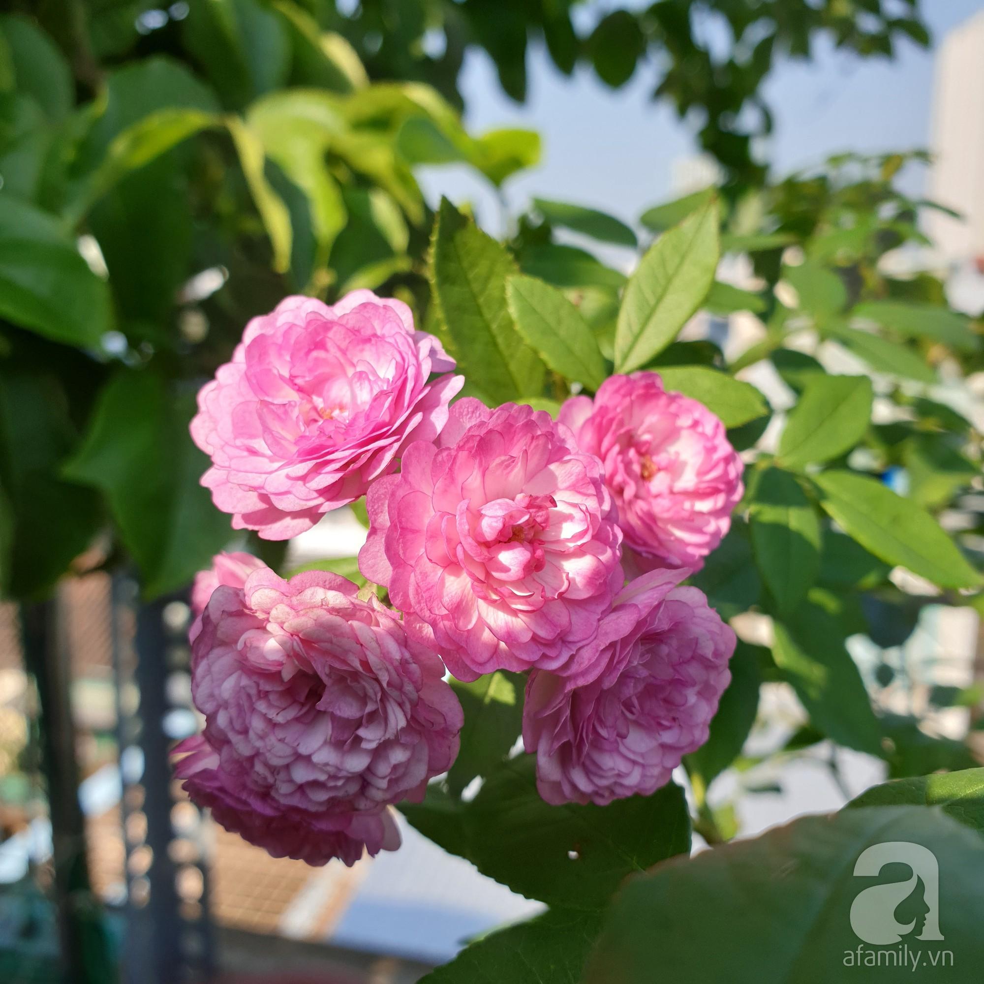 Vườn hồng trên sân thượng rực rỡ sắc màu của chàng trai 8x siêu đảm ở Sài Gòn - Ảnh 7.