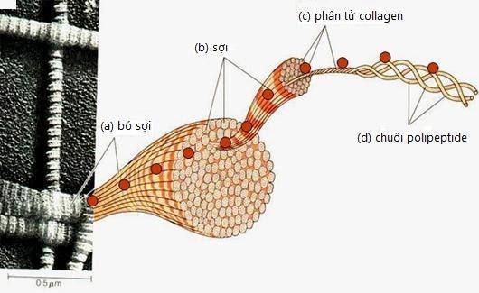 Collagen thủy phân từ vảy cá biển đã chính thức có mặt tại Việt Nam - Ảnh 1.