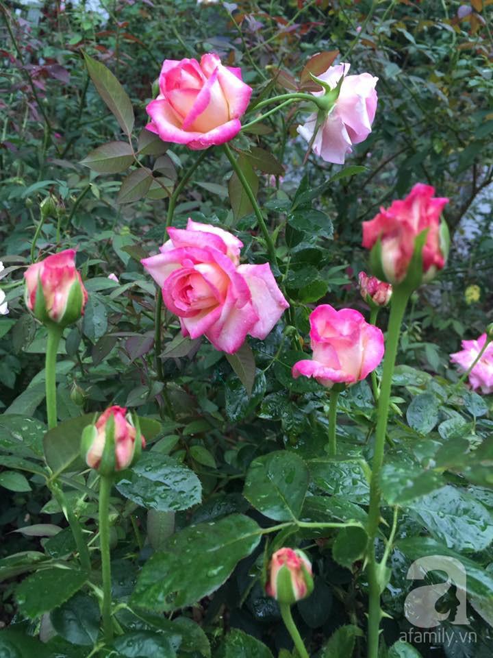 Cuộc sống bình yên của người đàn ông trong ngôi nhà phủ kín hoa hồng ở Hà Nội - Ảnh 12.
