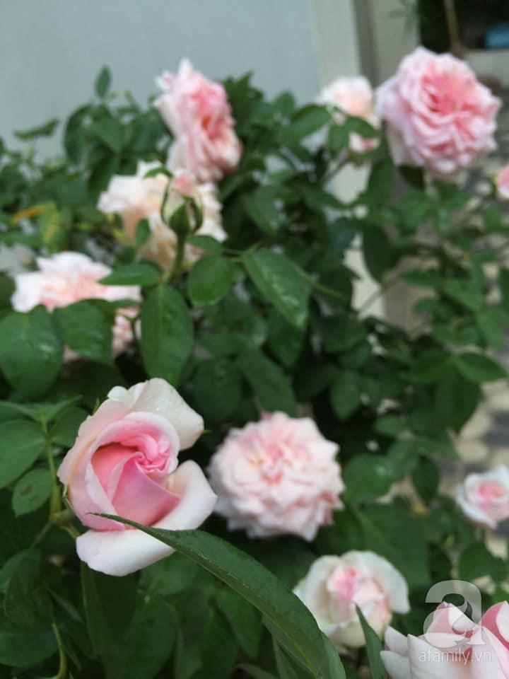Cuộc sống bình yên của người đàn ông trong ngôi nhà phủ kín hoa hồng ở Hà Nội - Ảnh 13.