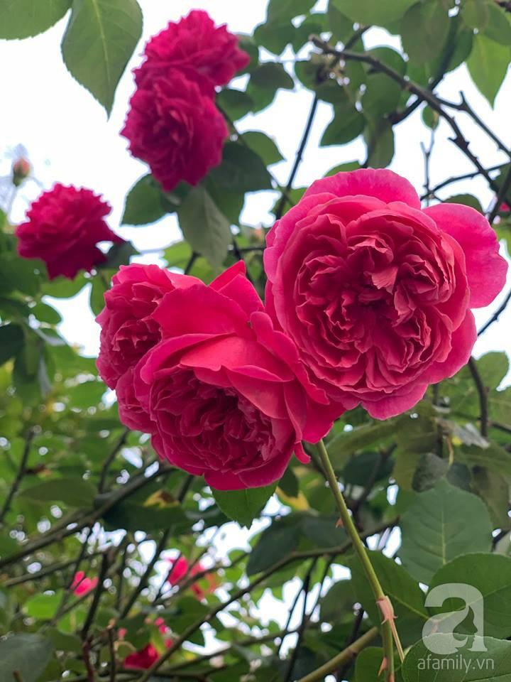 Cuộc sống bình yên của người đàn ông trong ngôi nhà phủ kín hoa hồng ở Hà Nội - Ảnh 20.