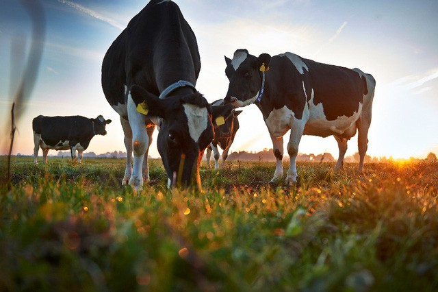 """""""Người ta mơ nhà mơ cửa"""", mẹ chỉ """"mơ"""" chọn sữa Organic đúng """"chuẩn Hà Lan"""" cho con - Ảnh 1."""