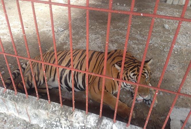 Chủ cơ sở nuôi hổ vừa cắn người ở Bình Dương từng bị xử lý hình sự - Ảnh 1.