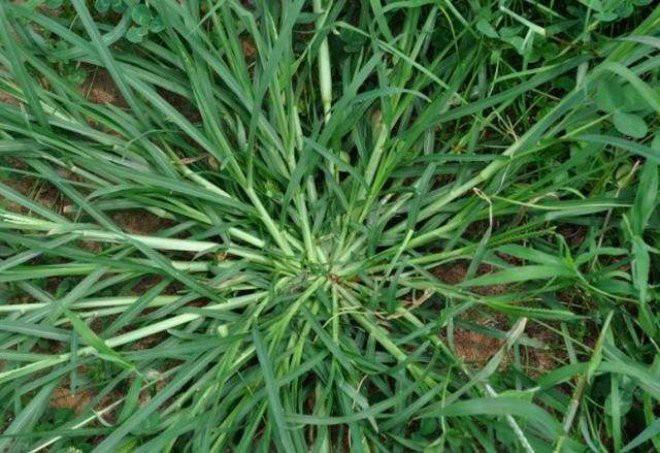 Loại cỏ ở Việt Nam cho bò ăn nhưng thực ra lại rất có giá: Chuyên gia chỉ tác dụng ai cũng biết cũng thấy tiếc - Ảnh 1.