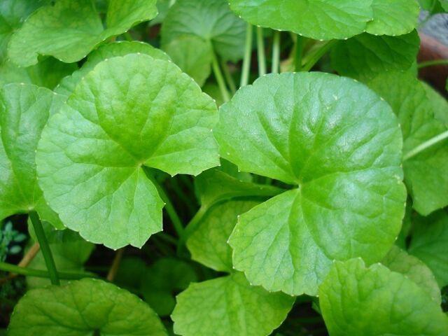 Làm quen với dưỡng chất căng mướt da từ lá cỏ hổ - bí quyết để có làn da pha lê - Ảnh 1.