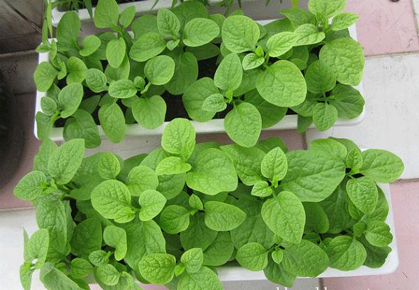 16082012vuonrau%203 35553 thiết kế vườn rau đẹp xinh trong nhà phố
