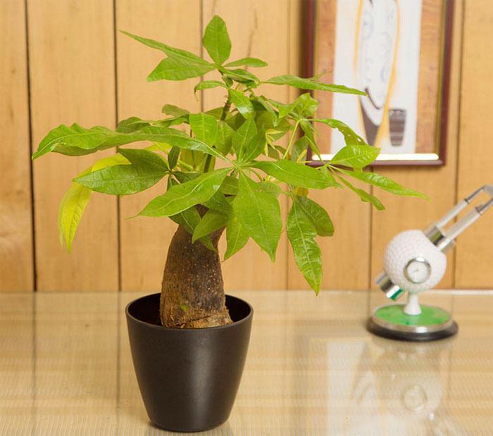 cây cảnh mini để bàn tại Hà Nội