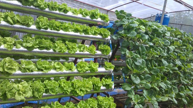 Hệ thống tuần hoàn trồng rau sạch thủy canh tại nhà