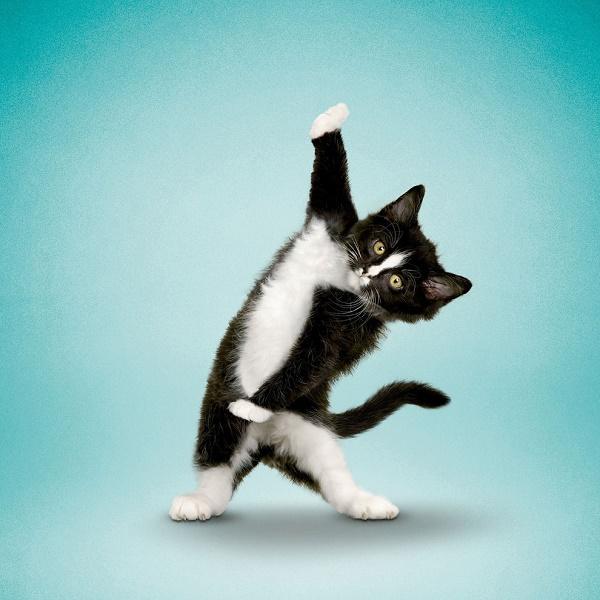 Thích thú với bộ ảnh của các cô, chú chó mèo tập yoga