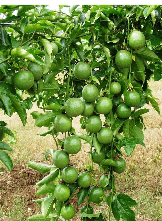 Hướng dẫn trồng và chăm sóc cây chanh leo cực đơn giản 1
