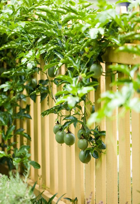 Hướng dẫn trồng và chăm sóc cây chanh leo cực đơn giản 10