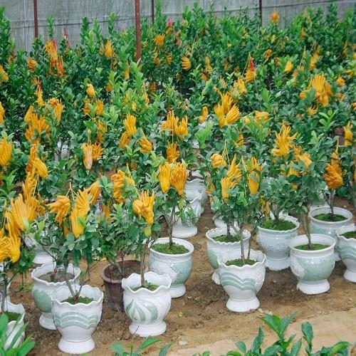 Chọn hoa, cây cảnh ý nghĩa trang trí nhà ngày Tết  9