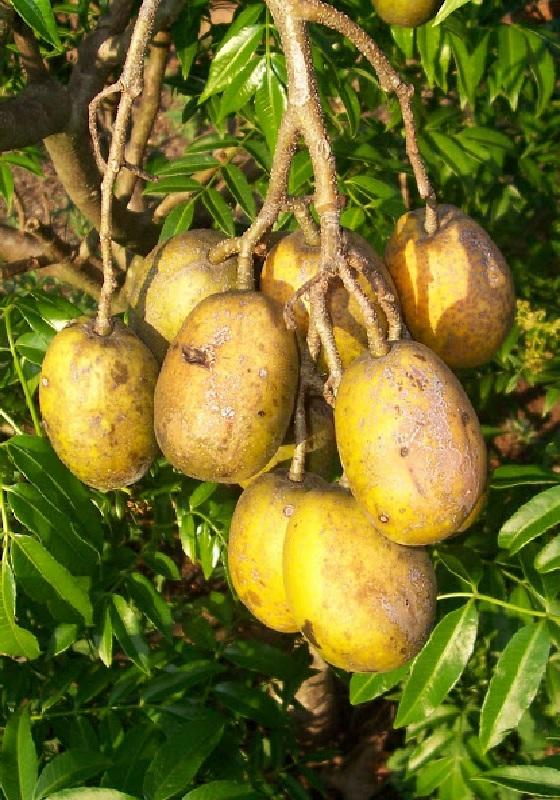 Hướng dẫn trồng cây cóc Thái cực sai quả trong chậu ở nhà phố 6