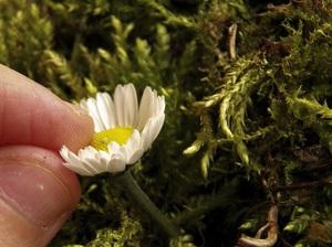 Cách cắm hoa cúc thanh nhã, tinh tế 4