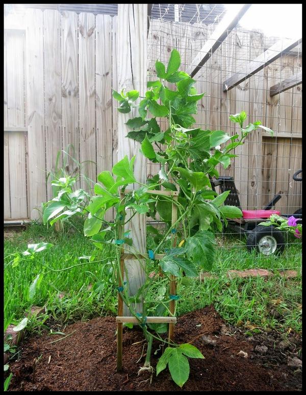 Hướng dẫn trồng và chăm sóc cây chanh leo cực đơn giản 3