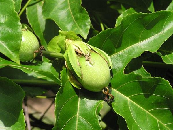 Hướng dẫn trồng và chăm sóc cây chanh leo cực đơn giản 7