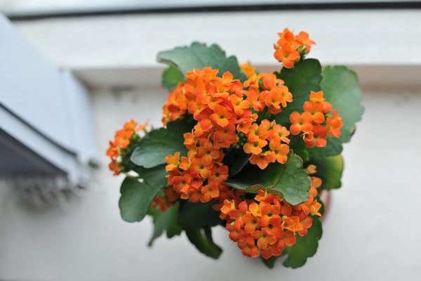 Chọn hoa, cây cảnh ý nghĩa trang trí nhà ngày Tết  14