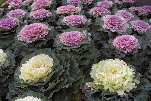 Làm đẹp vườn và trang trí nhà với hoa hồng sa mạc 17