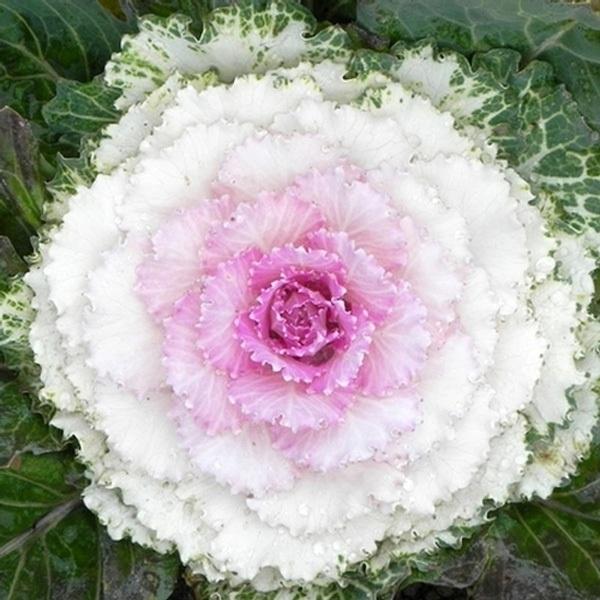 Làm đẹp vườn và trang trí nhà với hoa hồng sa mạc 2