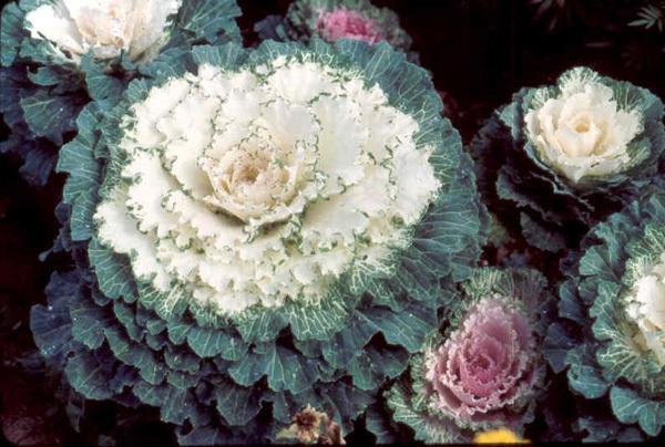 Làm đẹp vườn và trang trí nhà với hoa hồng sa mạc 3