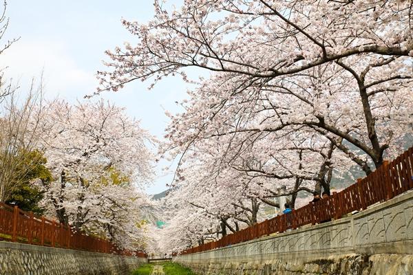 Quang cảnh tuyệt đẹp ở các địa điểm ngắm hoa anh đào tại Hàn Quốc 1