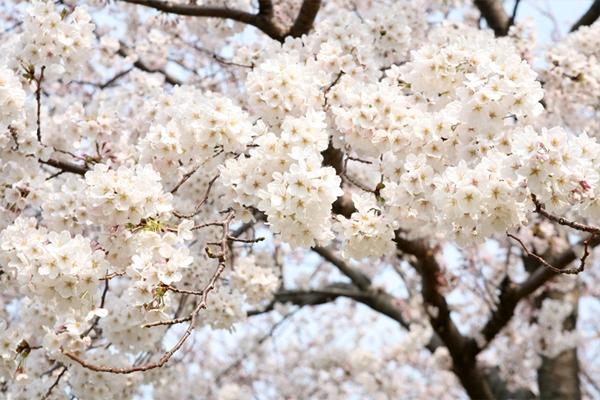 Quang cảnh tuyệt đẹp ở các địa điểm ngắm hoa anh đào tại Hàn Quốc 13