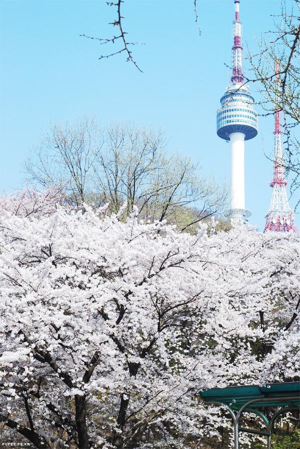 Quang cảnh tuyệt đẹp ở các địa điểm ngắm hoa anh đào tại Hàn Quốc 7
