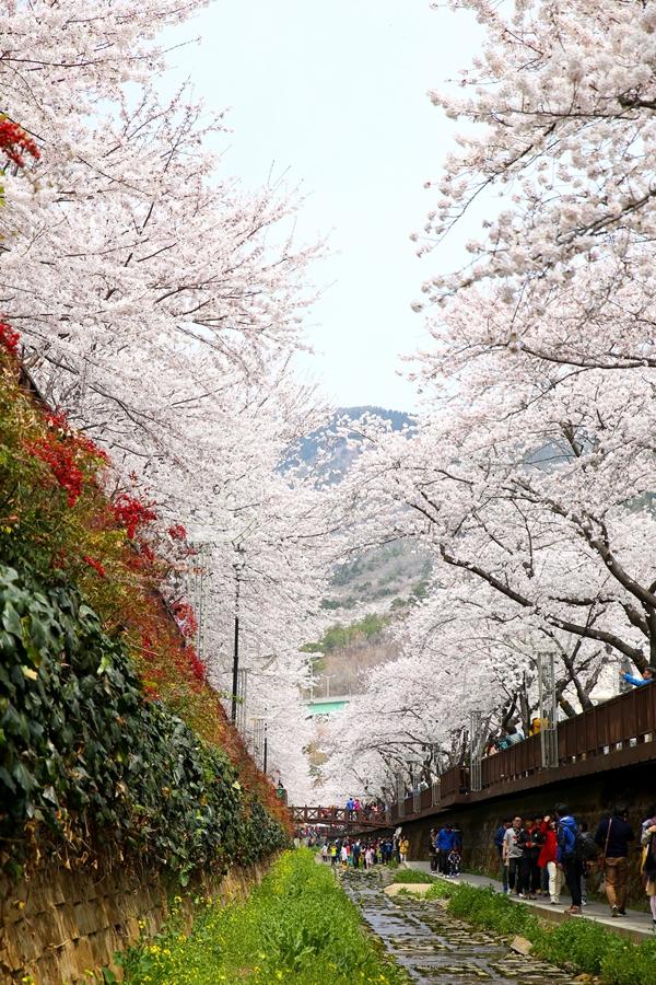Quang cảnh tuyệt đẹp ở các địa điểm ngắm hoa anh đào tại Hàn Quốc 2